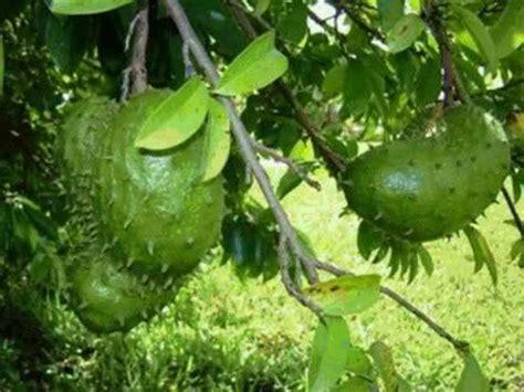 g fruit guanabana guanabana cancer cure guanabana health benefits