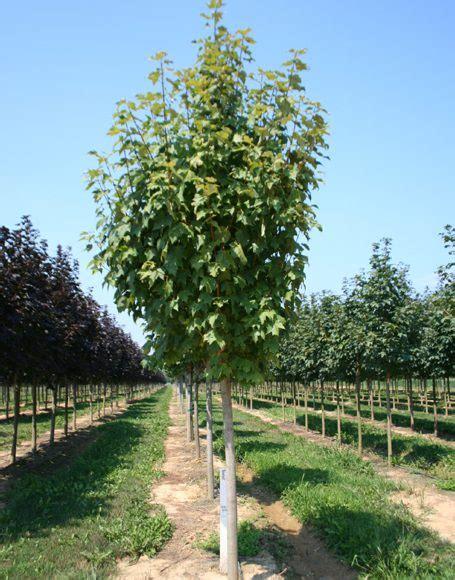 karpick maple tree acer rubrum bowhall moon nurseries