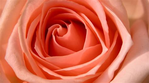 Rose HDTV 1080p Wallpapers   HD Wallpapers