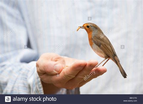 robin feeding on mealworms from a mans hand stock photo