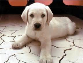 Lab Puppies Lab Puppies For Sale Puppiez