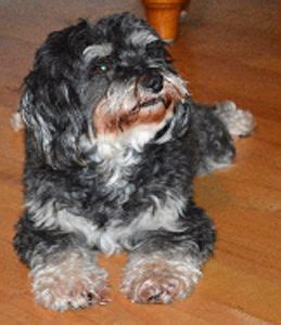 havanese rescue dogs for adoption pin by havanese rescue on havanese rescue dogs
