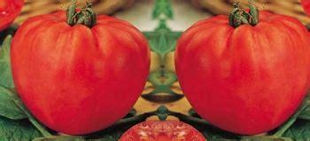 pomodori cuore di bue in vaso vendita piantine pomodori prezzo ed offerte