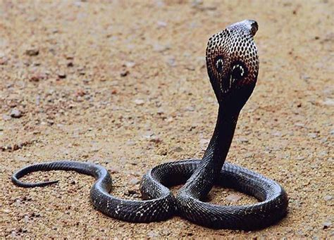 snakes facts amazing pictures learn about snakes amazing nature childrens books volume 2 books king cobra snake facts world amazing facts interesting