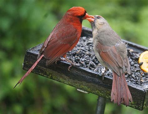 al batt do all birds have tongues where does cardinal