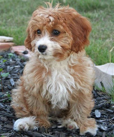 havanese mix havapoo havanese x poodle mix info temperament puppies pictures