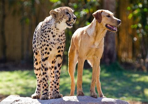 cheetah puppy still about each other the cheetah and labrador raised together since cub and