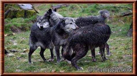 1325307793 loups et louveteaux du canada loup du canada canis lupus occidentalis