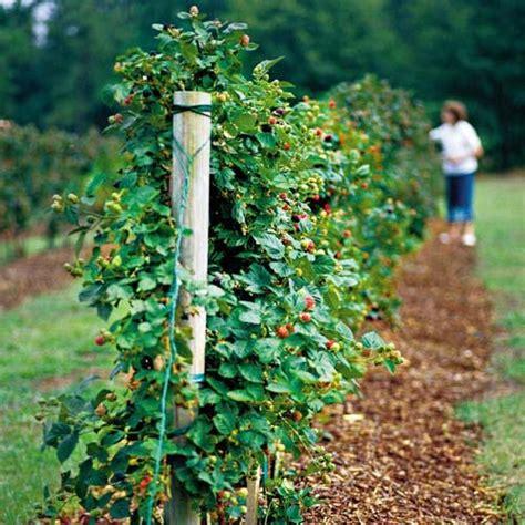 Berry Trellis best 25 growing blackberries ideas on how to grow blackberries blackberry bush and