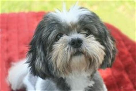 shih tzu rescue in florida adopt stryker on the o jays shih tzu rescue and shih tzu