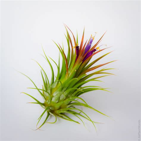 air plants ionantha fuego air plant air plant worlds
