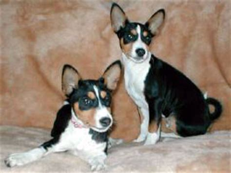 tricolor basenji puppies for sale basenji bred puppies for sale by best akc breeders pets4you