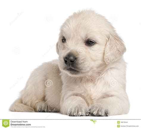 golden retriever 4 weeks golden retriever puppy 4 weeks stock images image 18673544