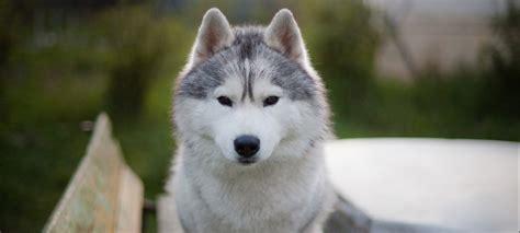 az rescue siberian husky puppy rescue az wroc awski informator internetowy wroc aw wroclaw