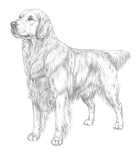 Golden Retriever Coloring Page free coloring pages