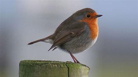 bbc wales nature garden bird pictures