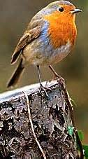 robins like cheese and blackbirds eat dog food what you