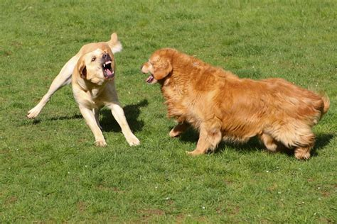 golden retriever golden lab yellow lab versus golden retriever david martschinske flickr