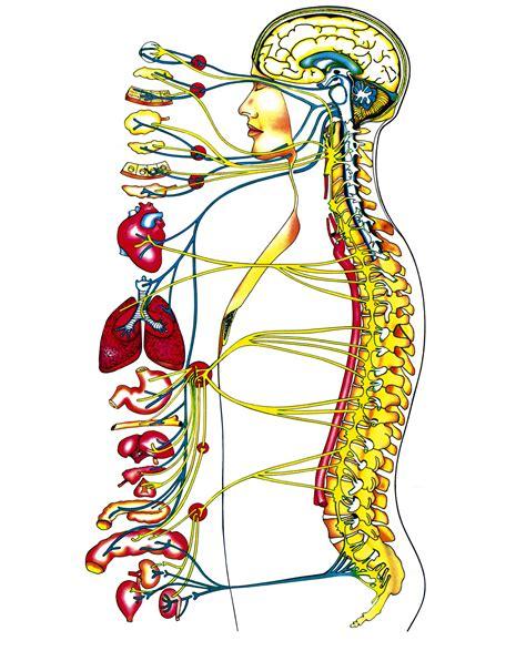 la columna de la 8416771952 quiropr 193 ctica salud todo sobre la salud el sistema nervioso y su relaci 243 n con la columna