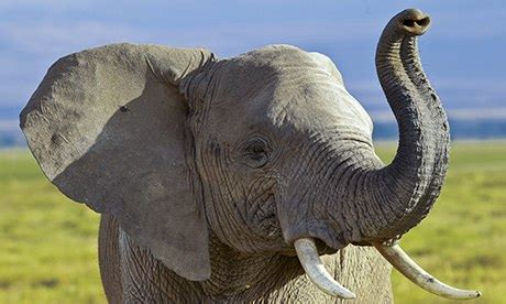 Elephants understand pointing, scientists show | Science ...