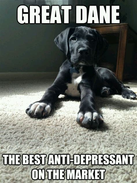 Great Dane Meme - pin by crystal randall on animals pinterest
