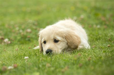 a puppy for sponsor a puppy s puppy gallery guide dogs