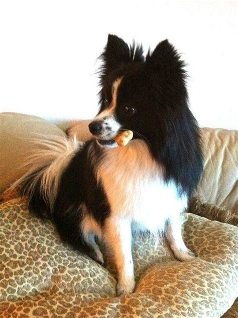 panda pomeranian 17 best images about kleinspitzes zwergspitzes and pomeranians oh my on
