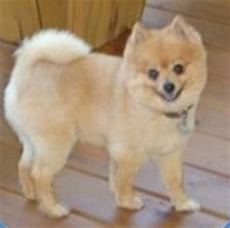 how to do a cut on a pomeranian cut hair cuts pomeranian information center