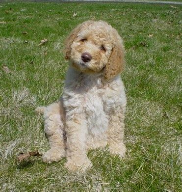 therapy dogs for sale pa australian labradoodles breeder puppies dogs for sale therapy dogs tx arf