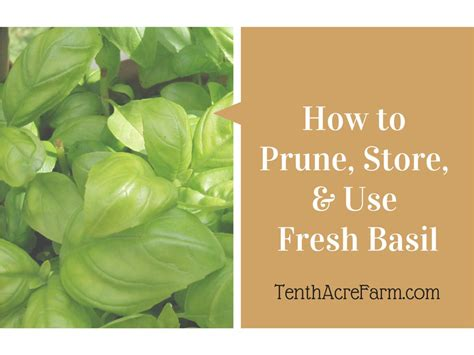 how to prune store and use fresh basil tenth acre farm