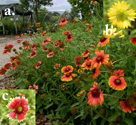 yum blanket flower gorgeous flowering shade loving plant