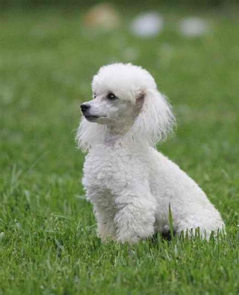 lifespan of standard poodle best 25 poodles ideas on poodle cuts
