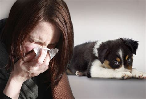 allergic to saliva allergy to dogs symptoms home relief and dogs for allergy sufferers dogs cats pets