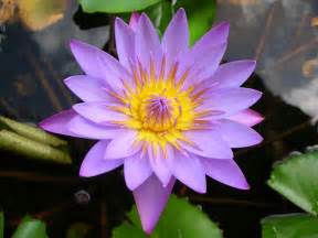 The Lotus Plant Lotus Flower A Photo From Polynesia Other Trekearth