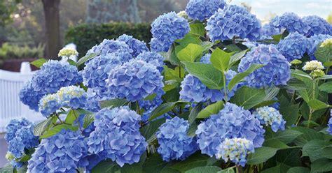 pflege hortensien im garten hortensien pflege 5 tipps f 252 r die perfekte bl 252 tenpracht