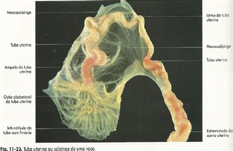 vestibulo genital feminino rosivaldo delfino sistema reprodutor feminino
