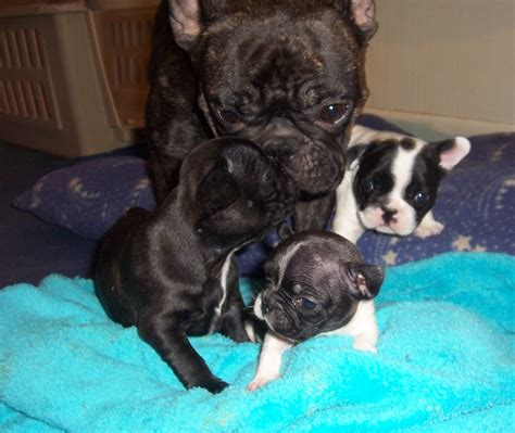 bulldog puppies kansas bulldogs picture kansas breeders guide