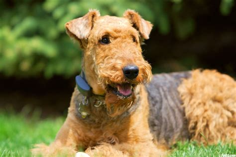 terrier puppy airedale terrier dogs wallpapers hd wallpapers