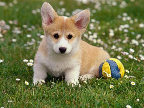 find corgi puppies lovely puppy corgi wallpaper for your computer desktop