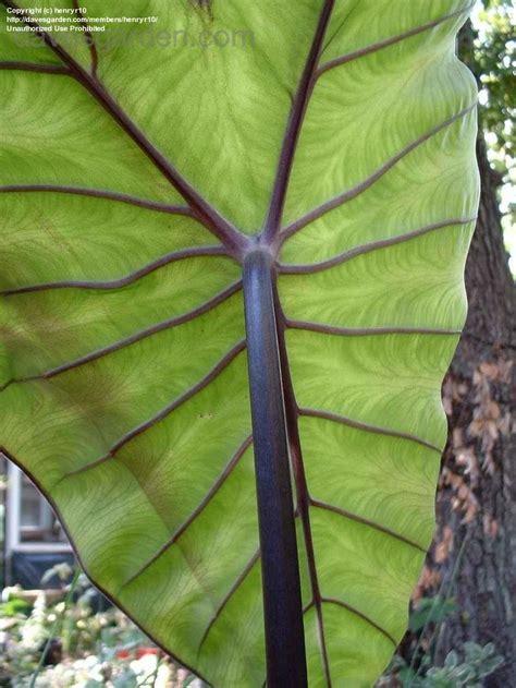 plantfiles pictures black stem elephant ear violet