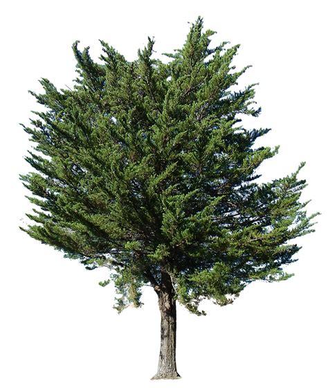 transparent tree pine tree transparent alpha