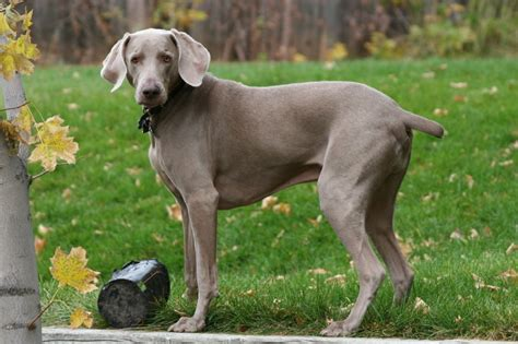 breed weimaraner weimaraner history personality appearance health and pictures