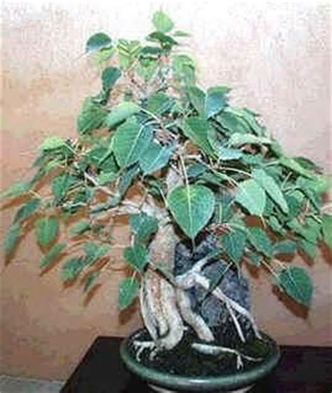 ficus religiosa seeds bodhi tree bo tree sacred fig see more at http www rarexoticseeds