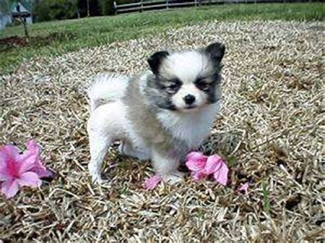 munchkin puppy dogs a s best friend