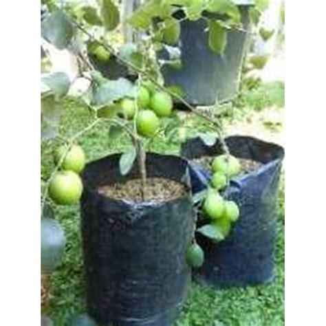 1 Biji Benih Buah Apel Dell jual bibit putsa apel india oleh central fruit park