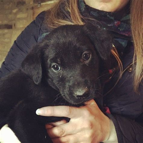 flat coated retriever puppies for sale flat coated retriever cross puppies for sale cheltenham gloucestershire pets4homes
