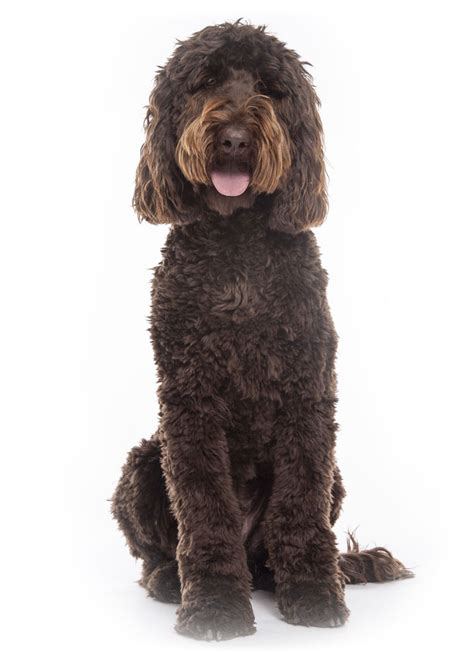 doodle puppies for sale los angeles los angeles socal labradoodle goldendoodle breeder