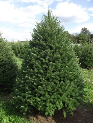 douglas fir christmas tree care tlc the tree and landscape company how to the tree tlc the tree and