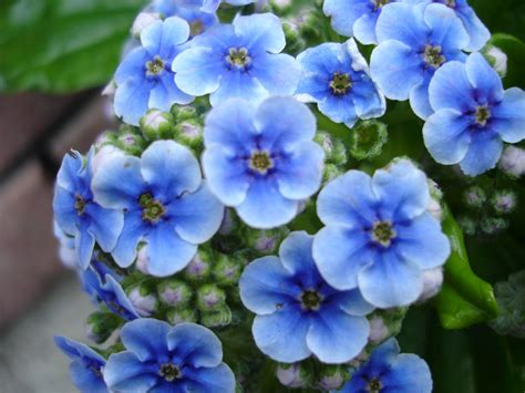 Blue Flowers by Sberrymum Beautiful Blue Flowers