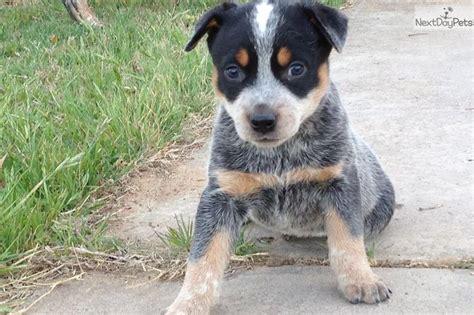 blue heeler puppies for sale near me meet a australian cattle blue heeler puppy for sale for 400